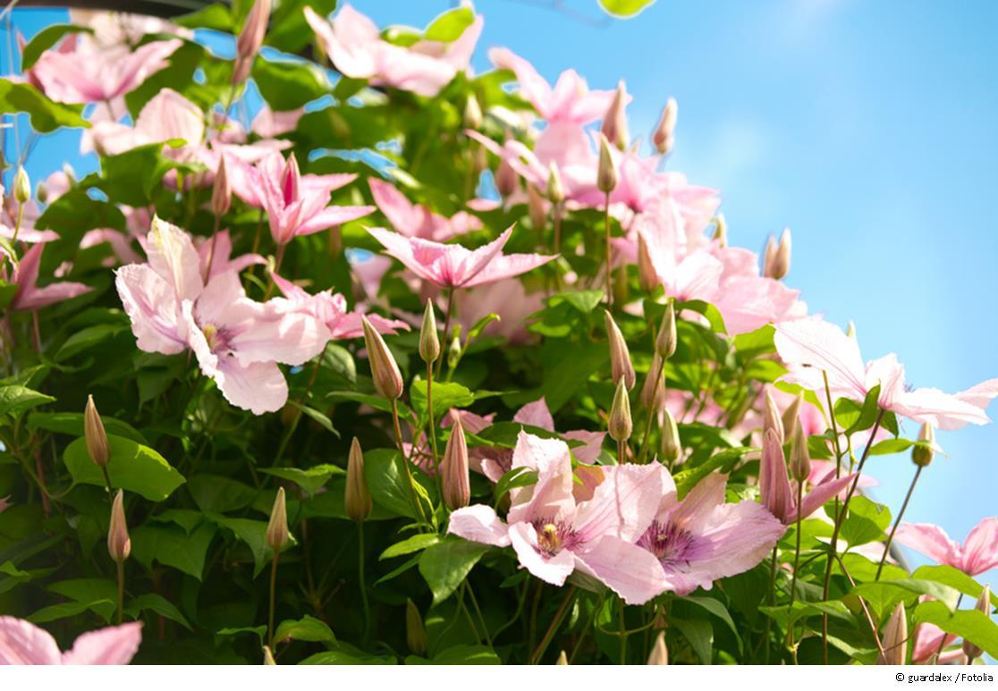Kletterpflanzen für den Rosenbogen
