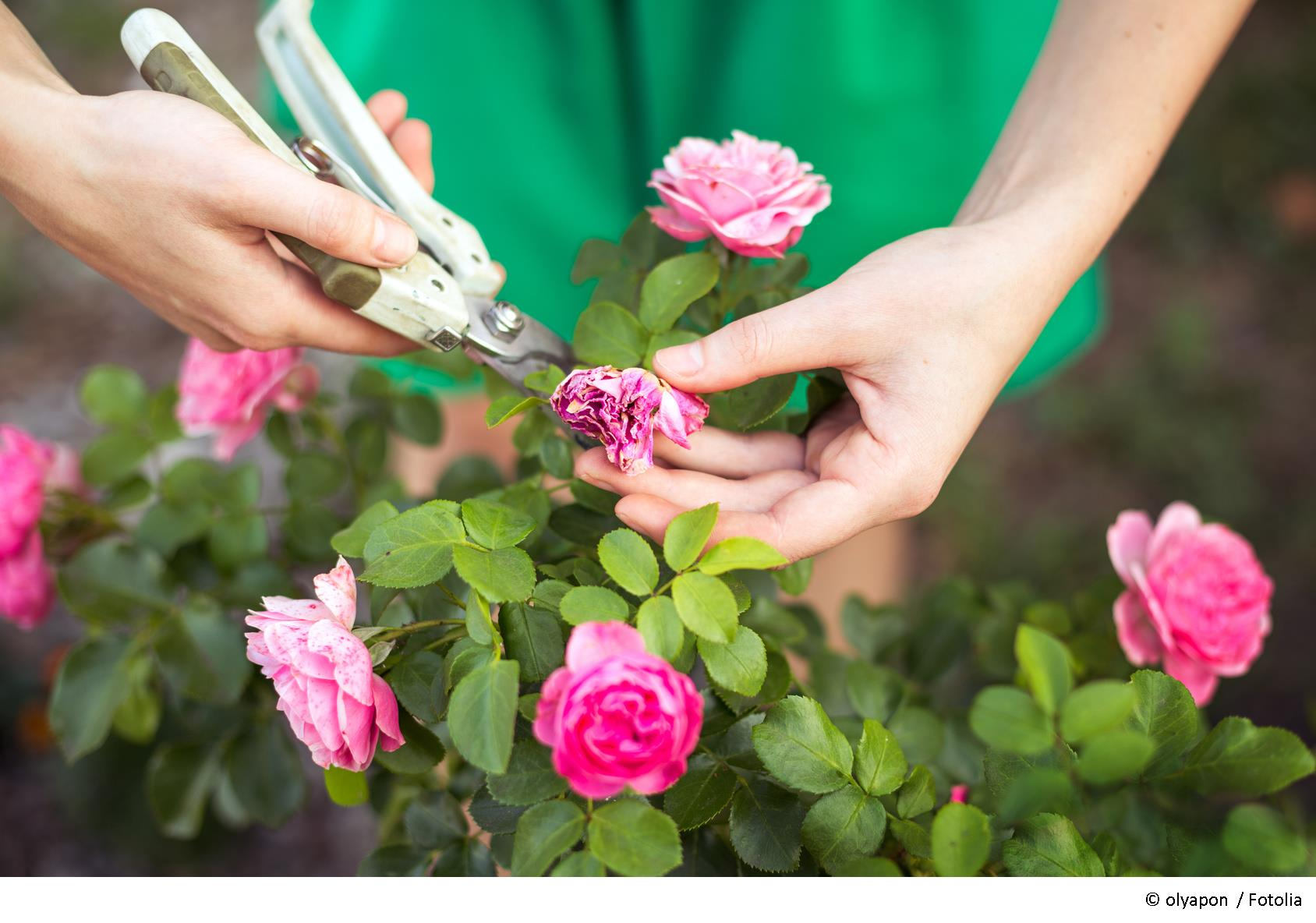 rosen schneiden herbst. rosen schneiden im herbst ist das ratsam