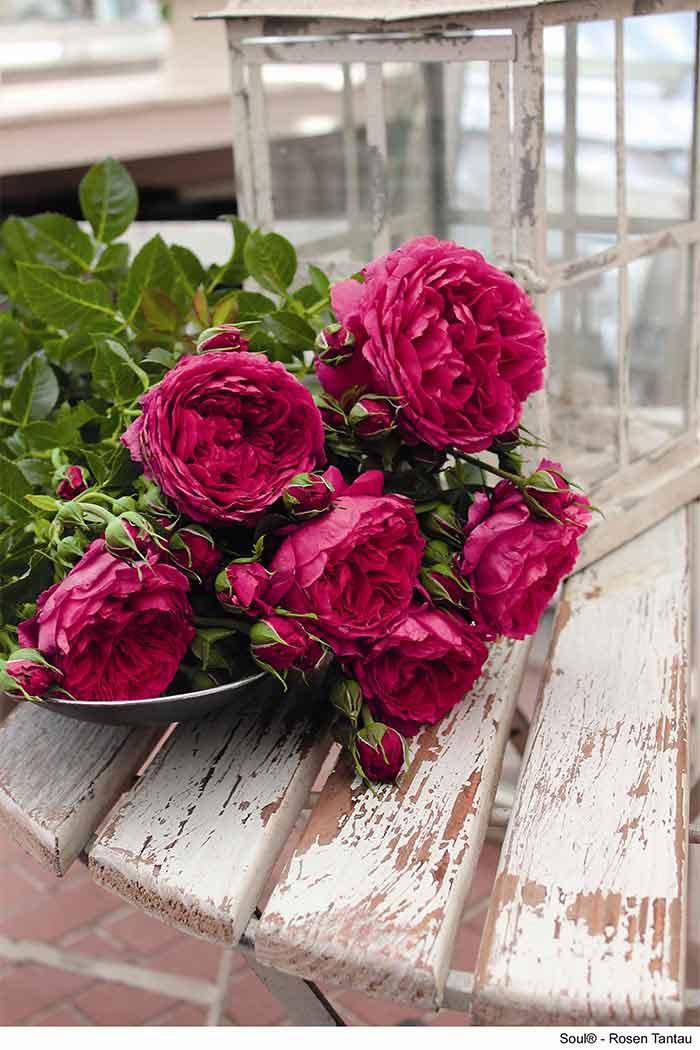 Rose Soul® von Rosen Tantau